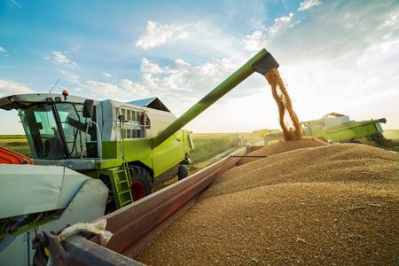 cosecha de trigo: Máquina segadora en acción en el campo de trigo, granos de descarga Foto de archivo