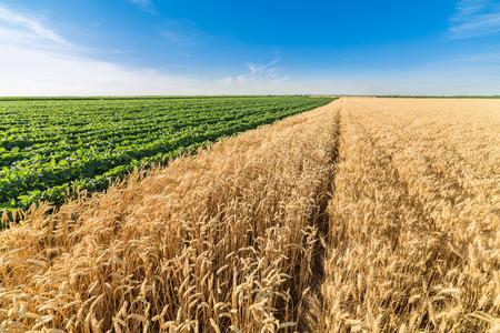 alongside: Ripe wheat field alongside of green soybean field Stock Photo