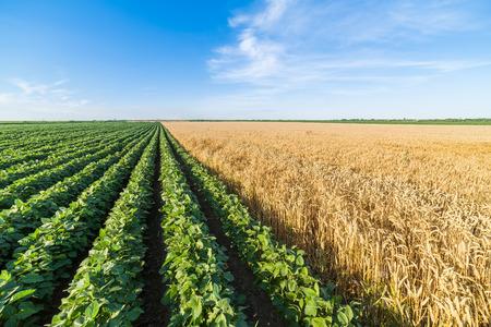 alongside: Green soybean field alongside of ripe wheat