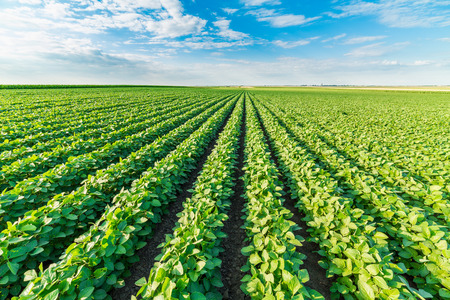 green field: Soybean field ripening at spring season, agricultural landscape