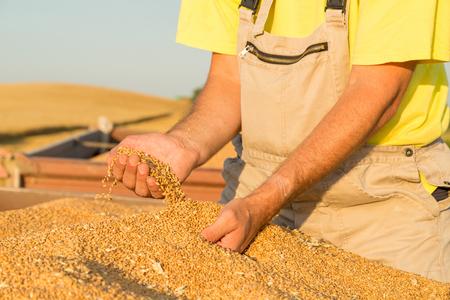 harvested: Farmer inspecting freshly harvested wheat grains Stock Photo