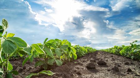 crecimiento planta: plantas de soja verde cerca de una foto, mezclado org�nico y gmo