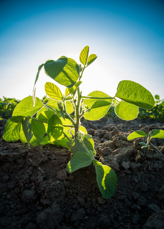 Green soybean plants close-up shot, mixed organic and gmo Фото со стока