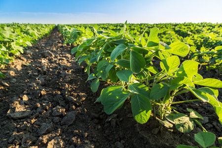 soybean: Green soybean plants close-up shot, mixed organic and gmo Stock Photo