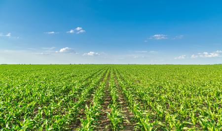 Wachsende Maisfeld, grüne landwirtschaftliche Landschaft