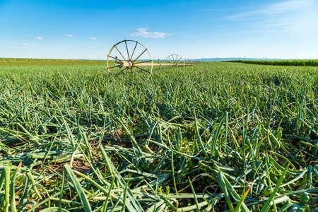 irrigation field: Irrigation system at onion field