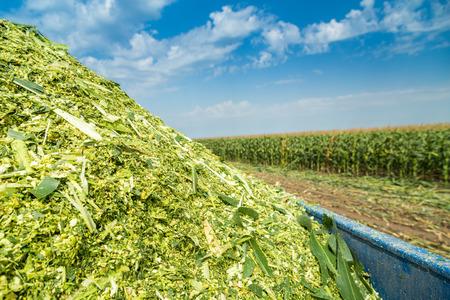 サイレージ orn トウモロコシ緑茎フィールドに熟していません。 写真素材