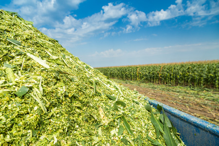Kuilvoer of maïs groene stelen onrijp op het veld
