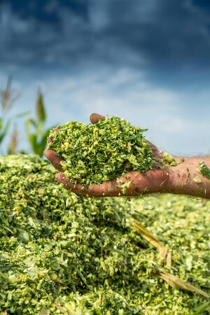 Farmers hands holding freshly harvested silage corn maize