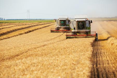 Kombajny zbożowe w akcji na polu pszenicy