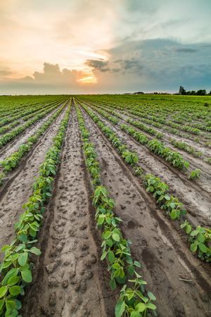 monoculture: Green soybean field