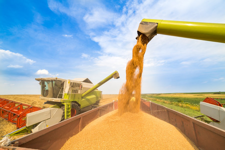 Combine harvester in action on wheat field. Harvesting is the process of gathering a ripe crop from the fields. Stock Photo
