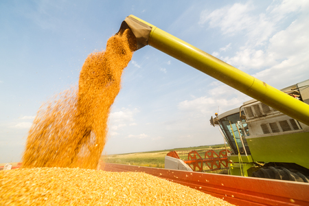 Combine harvester in action on wheat field. Harvesting is the process of gathering a ripe crop from the fields. Imagens