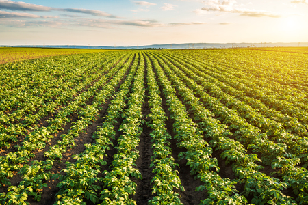 Grünes Feld der Kartoffelernten in einer Reihe