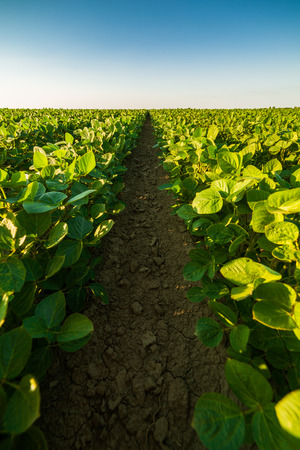 Green ripening soybean field, agricultural landscape Stock Photo - 104150197