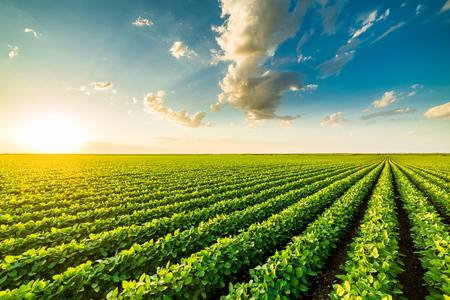 Zielone pole dojrzewającej soi, krajobraz rolniczy