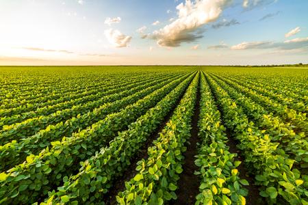 Groen rijpend sojaboongebied, landbouwlandschap Stockfoto