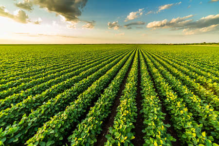 Green ripening soybean plants. Agricultural landscape Stock Photo