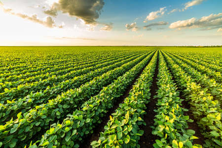 Green ripening soybean plants. Agricultural landscape