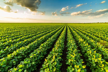 Green ripening soybean plants. Agricultural landscape Archivio Fotografico