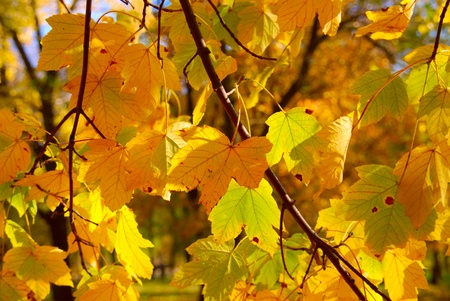yellowing: The first tree yellowing Stock Photo