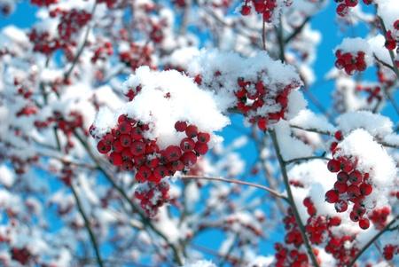 雪で覆われたローワン ツリー 写真素材