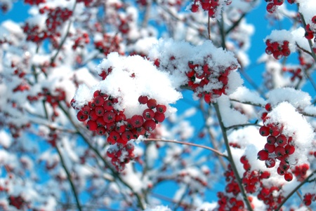 crystallize: Rowan tree covered with snow Stock Photo