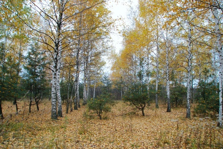 yellowing: Autumn forest. Yellowing leaves on the trees.