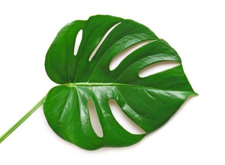 monstera leaf: Leaf isolated on white background Stock Photo