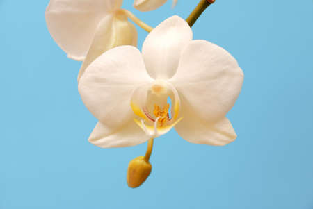 White orchid on a blue background photo