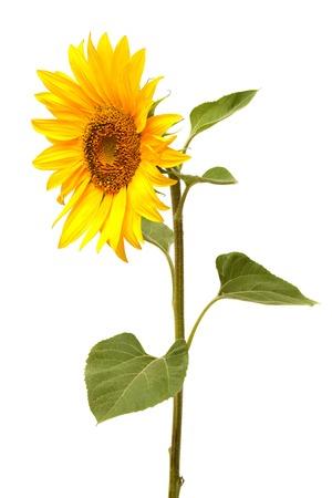 Sunflower isolated on white background Zdjęcie Seryjne - 35941340