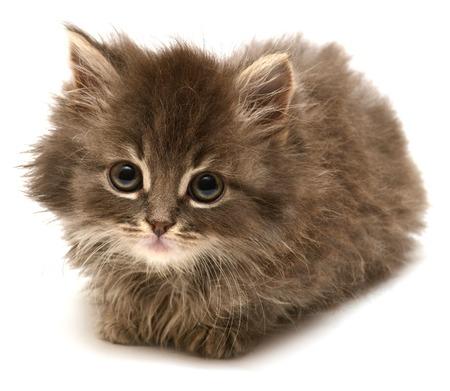 白い背景に分離された美しいペルシャ子猫 写真素材