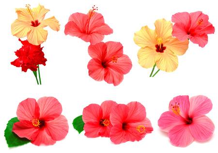 hibisco: Colecci�n de hibisco coloreado con hojas aisladas sobre fondo blanco