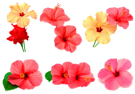 Collection of colored hibiscus with leaves isolated on white background
