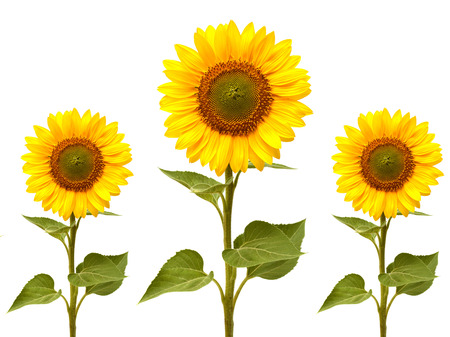 a sunflower: Sunflowers collection on the white background Stock Photo