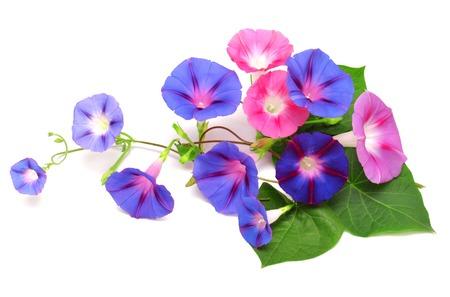 白い背景で隔離の葉と青とピンクの朝顔