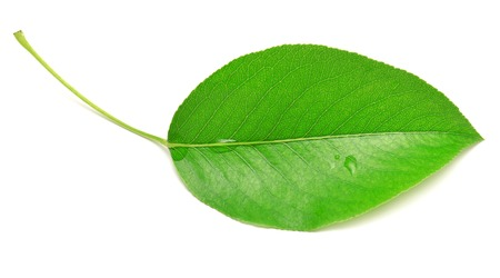 Single isolated leaf on a white background Stock Photo