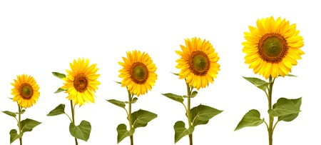 Growth stage of sunflower isolated on white background photo