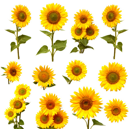 isolated on yellow: Sunflowers collection on the white background Stock Photo