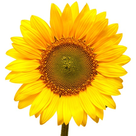 head shape: Sunflower isolated on white background