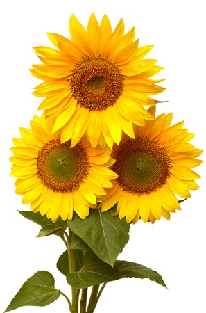 Bouquet of sunflowers isolated on white background Stockfoto