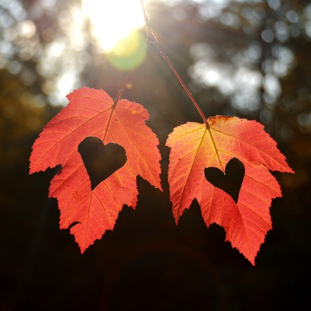 falling in love: Two autumn leaves with heart