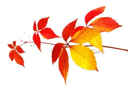 白い背景に分離された野生のブドウの葉を持つ美しい秋ツリー ブランチ 写真素材