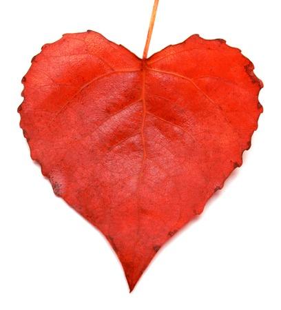 白い背景で隔離の赤葉心
