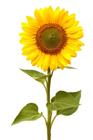 green and white: Sunflower isolated on white background