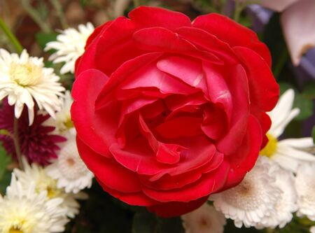 beautiful rose: Hermosa rosa