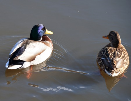 lough: A wild duck swims in the river Stock Photo