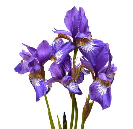 Iris isolated on white background photo