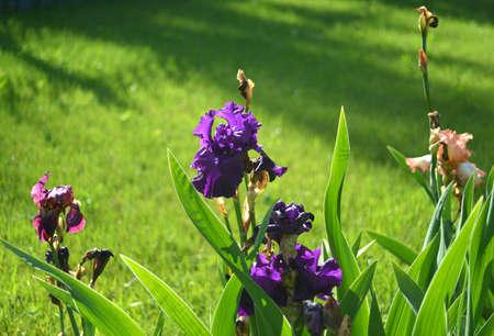purple irises: Purple irises in the Garden