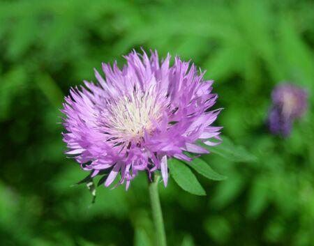 bluet: Purple cornflower in the field Stock Photo